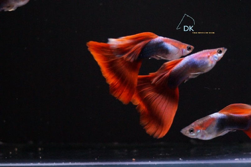Gambar Jenis Ikan Guppy Import - Ikan Guppy Import Half Black Red / HBR