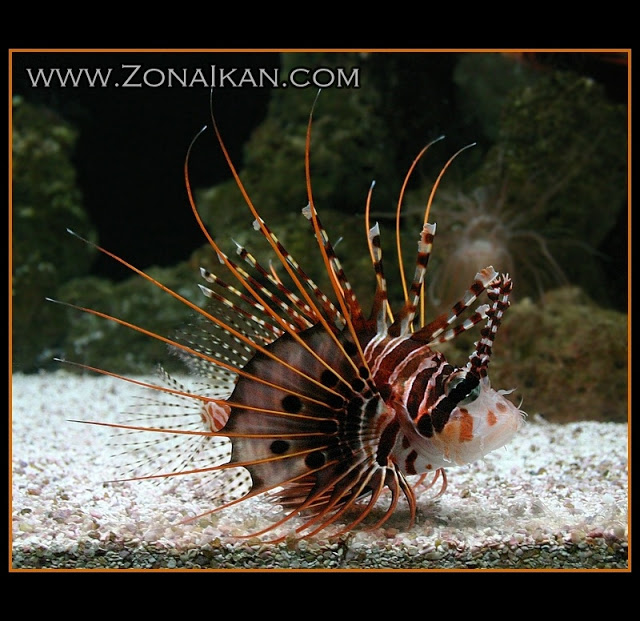 Gambar Ekogeo Mengenal Jenis Ikan Laut Beracun Angler Fish Gambar Di Rebanas Rebanas