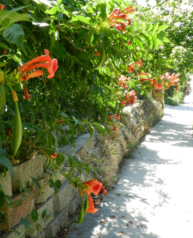 Trumpet Vine Shrubs