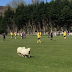 Welsh soccer match interrupted by sheep (Video)