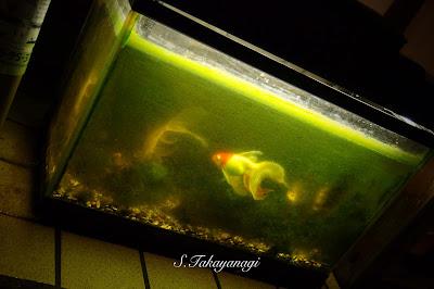 雨 川越 夜の街 日本の風景 snapshot  Japan 金魚