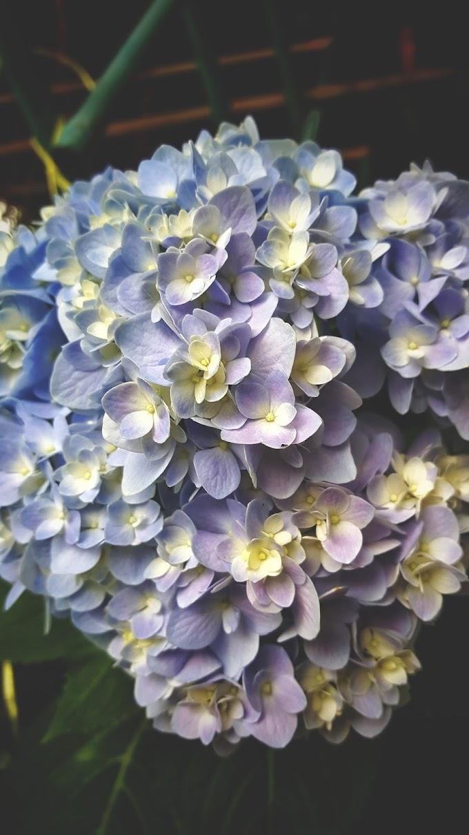 Bunga Tiga Bulan