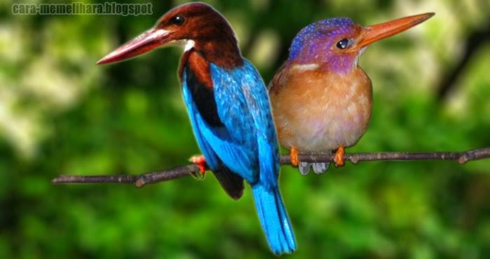 Burung Burung Raja Udang Jual Burung Murah Raja Udang Uairrior Com Br