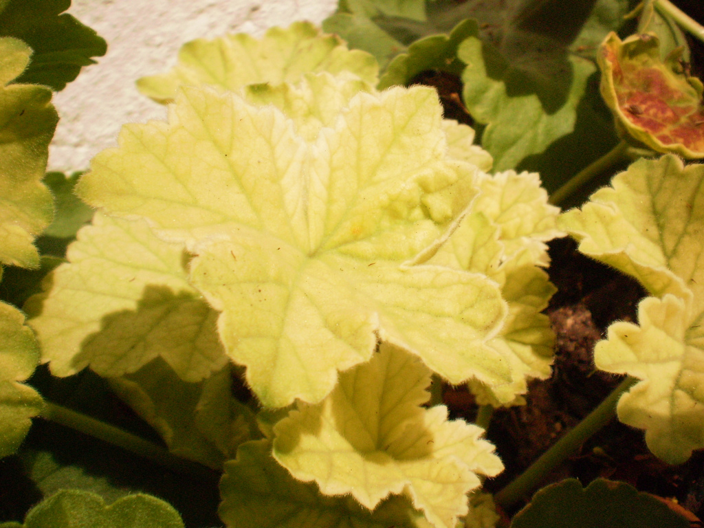WHY ARE MY GERANIUM LEAVES TURNING YELLOW? |The Garden of ...