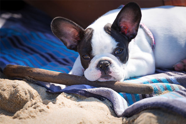 French Bulldog lies on a towel on the beach