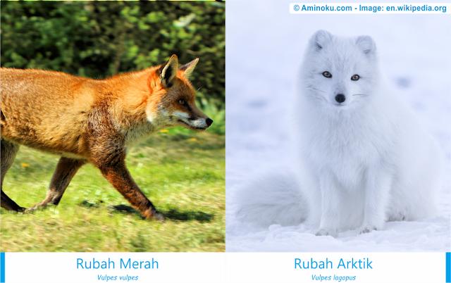 Perbedaan antara rubah merah dan rubah arktik