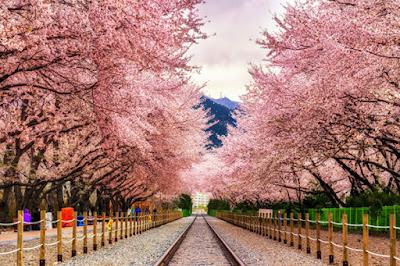 ทัวร์ญี่ปุ่นช่วงที่เหมาะสมที่จะชมดอกซากุระบาน