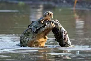 Cannibal crocodile attacks prey