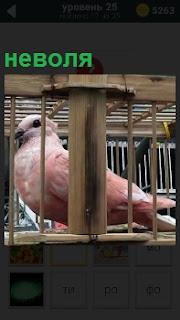 В деревянной клетке в неволе сидит розовый голубь и ждет когда его выпустят полетать на свободе