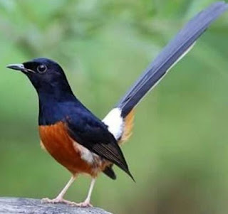 3 Ciri Burung Murai Batu Lampung Di Lihat Dari Segi Fisik