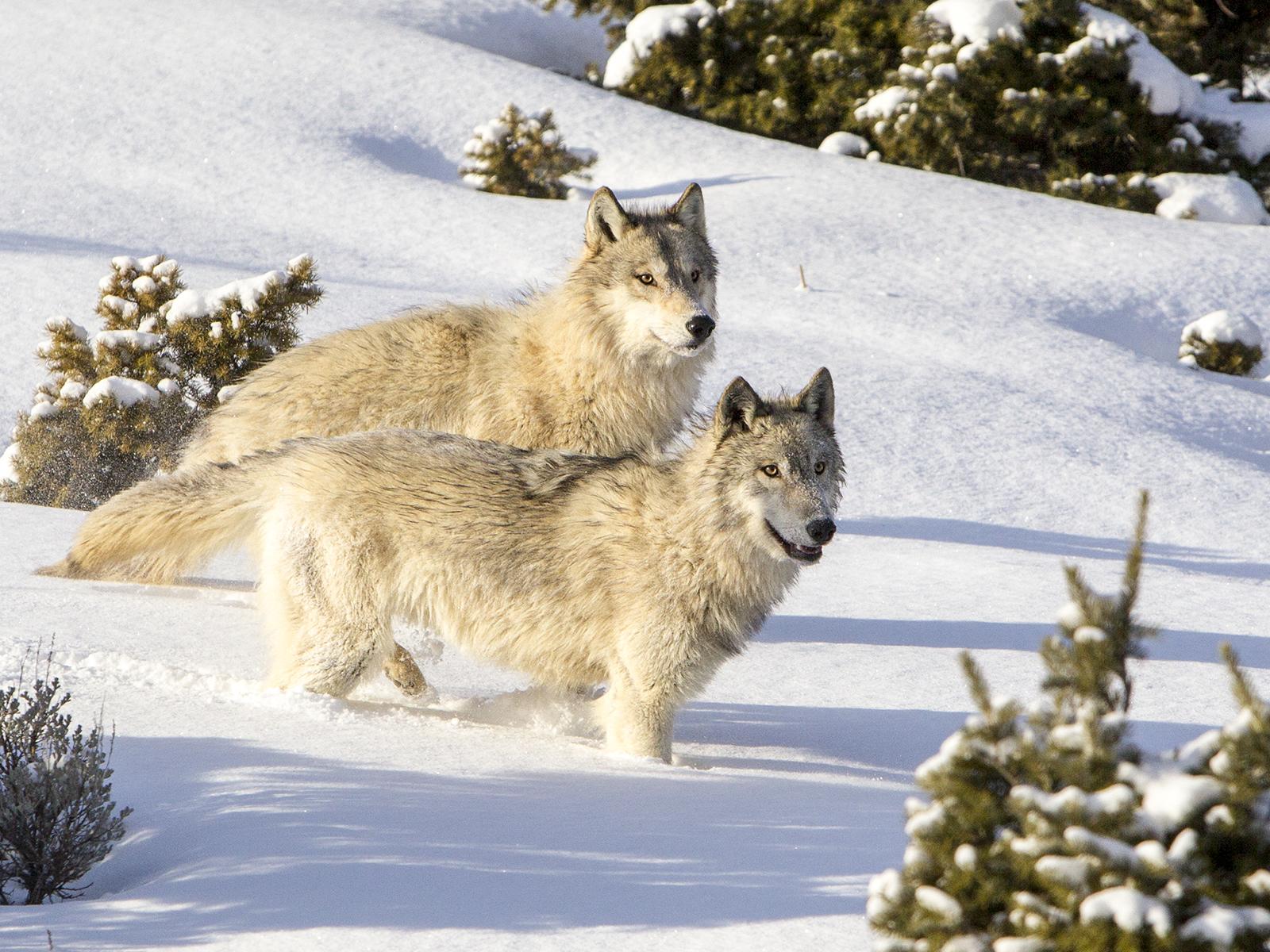 Wolves_Montana%255B1%255D.jpg