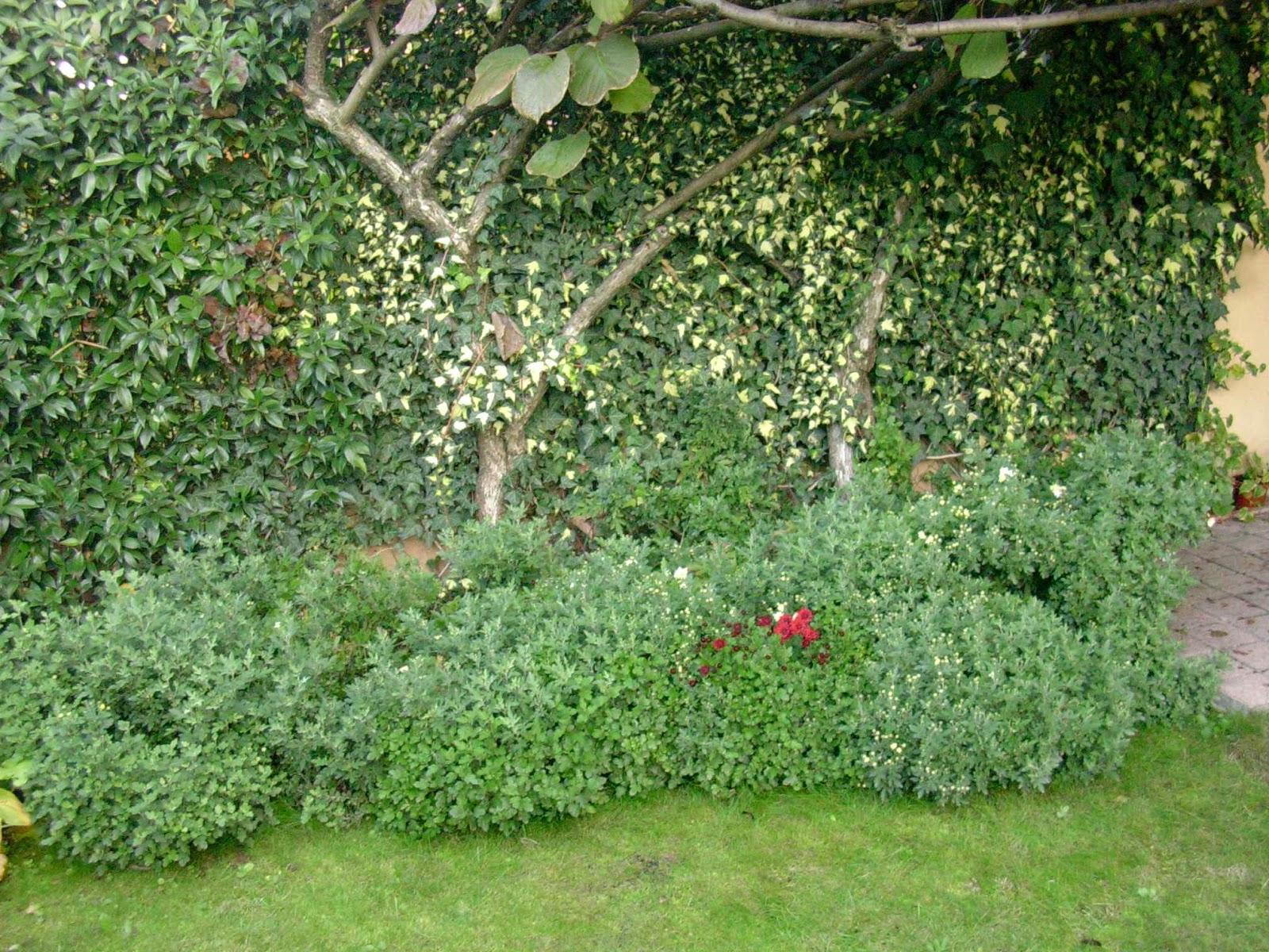 Un piccolo giardino in citt crisantemi in giardino for Cespugli per giardino