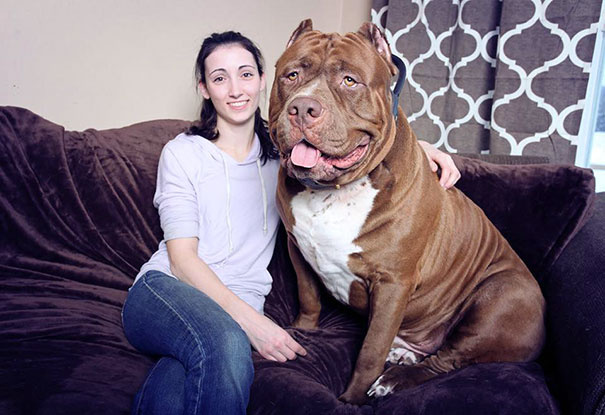 Meet 'Hulk' a 17-month-old pitbull who weighs 173.4lbs and is STILL growing