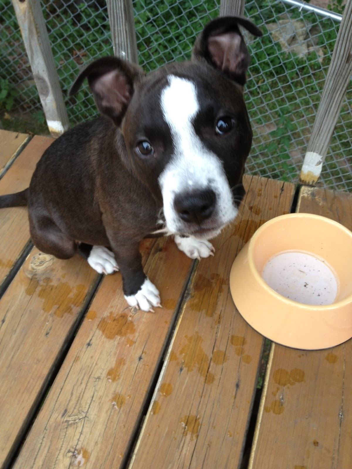 Rocky - Pit Bull Terrier Mix / Adoptable Dogs | Wags & Whiskers - MN