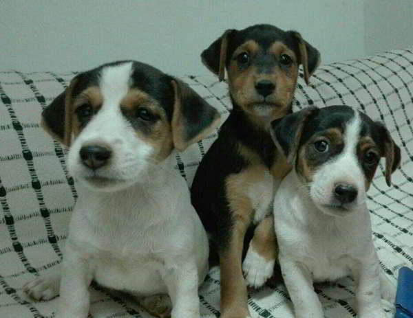 cachorros cruce jack russell