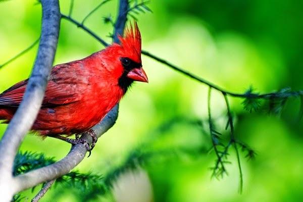 Burung Northern Cardinal