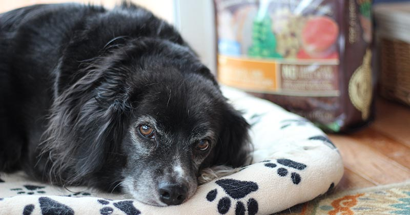 How a Dog Detox Can Help Your Pet