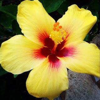 Gambar Bunga Alamanda yang Indah 25