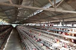 Rincian Modal Usaha Ayam Petelur Sampai Produksi