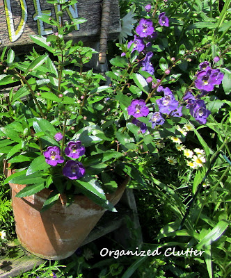 Cottage Garden - Angelonia
