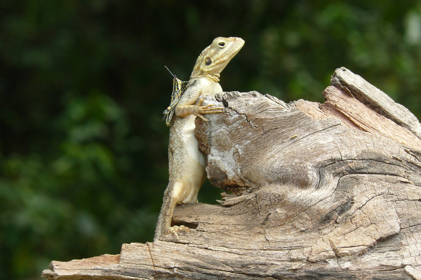 An amazing photo of a grasshopper on the back of a lizard.