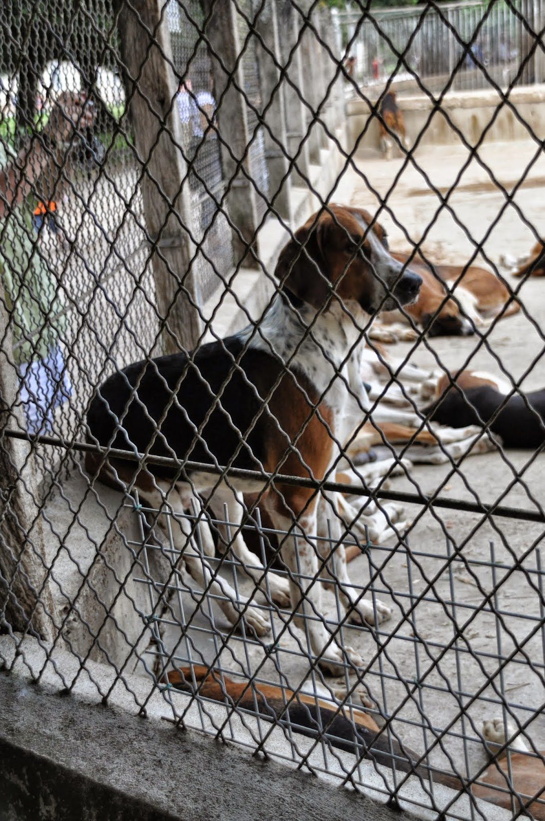 I cani della muta di Cheverny