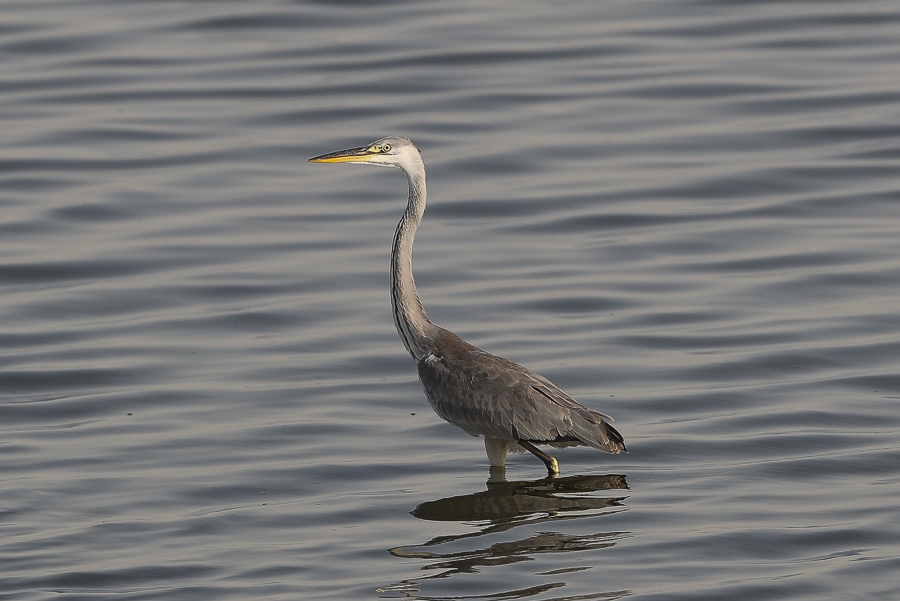 Waders and Herons – Jubail