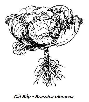 Hình vẽ Cải Bắp - Brassica oleracea - Nguyên liệu làm thuốc Chữa Đau Dạ Dày