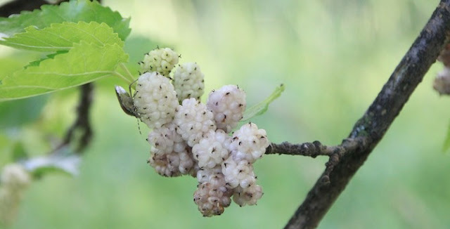 Benefits of Mulberry
