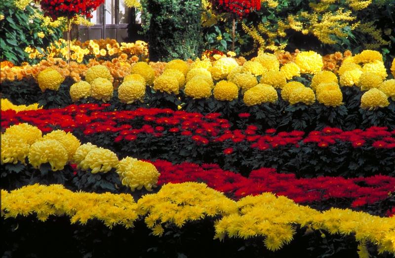 Crisantemos amarillos y rojos en Chrysanthemum Festival 2017 de Longwood Gardens