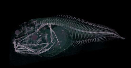 Misteriosa espécie 'fantasma' é descoberta nas profundezas do Oceano Pacifico