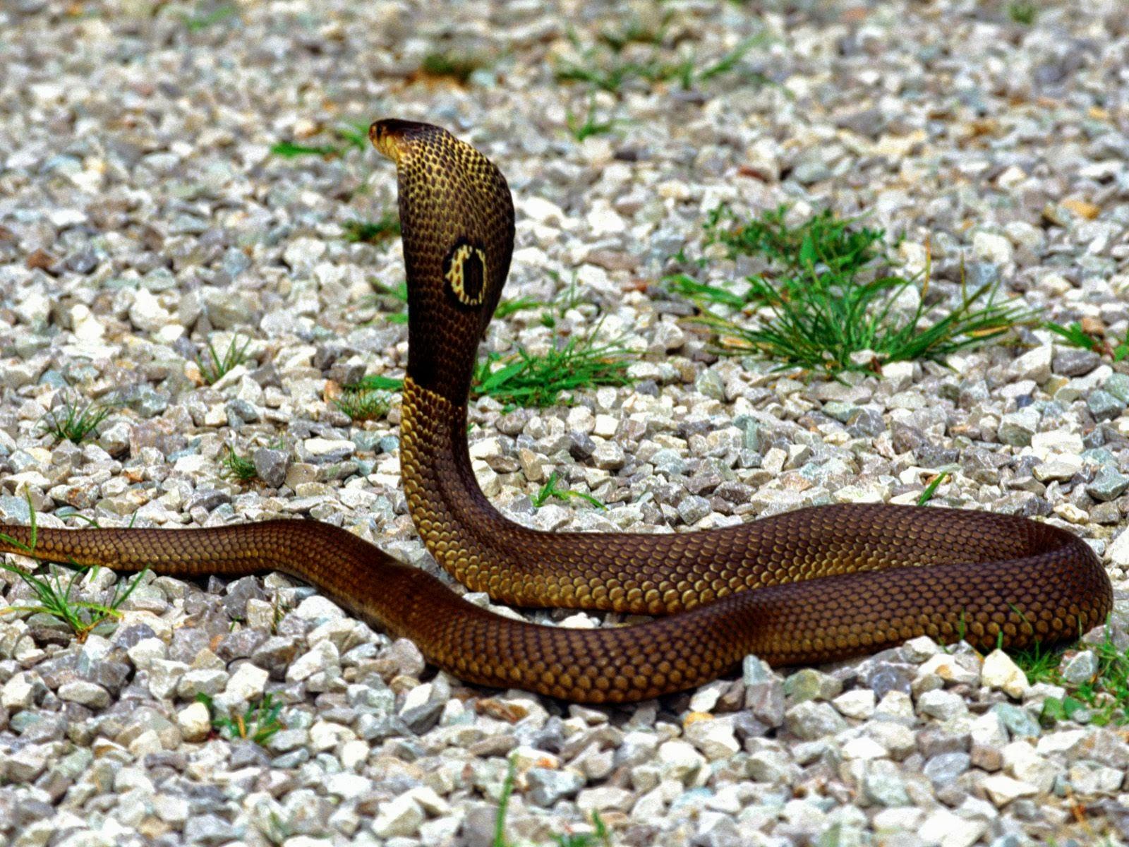 King Snake Hd Pictures Fantastic Snake Wallpaper: Knowledge Point: King Cobra Snake Facts