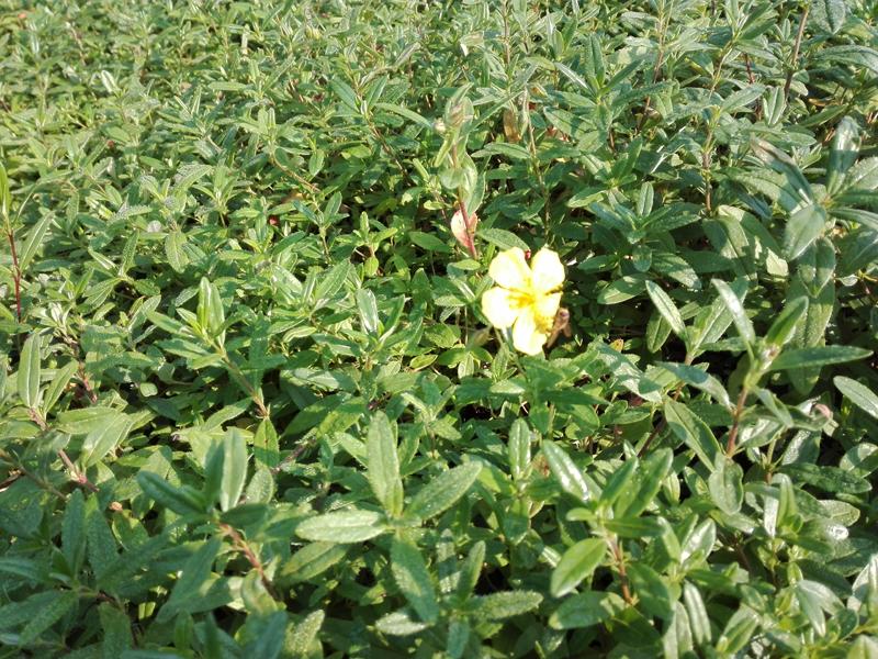 La Jara Estepa (Helianthemum nummularium), un nuevo arbusto de ...