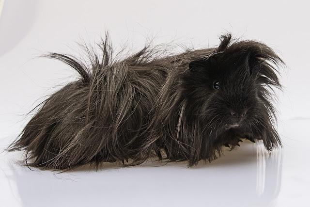 Image Cochon D'inde Péruvien