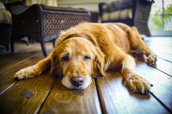 Los perros también pueden padecer de artritis