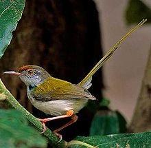 Burung Prenjak Kepala Merah - Common Tailorbird