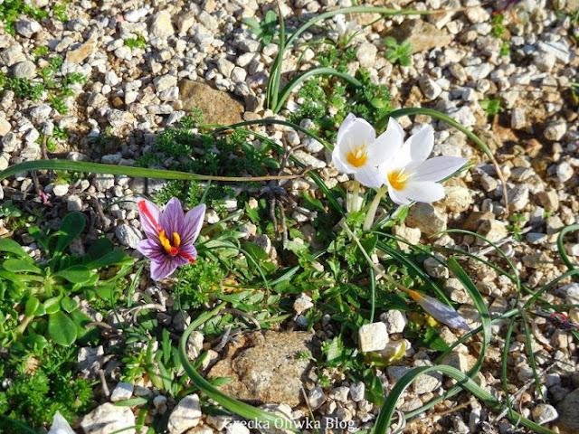 Na żwirowo roślinnym podłożu rosną trzy kroskusy fioletowy i białe