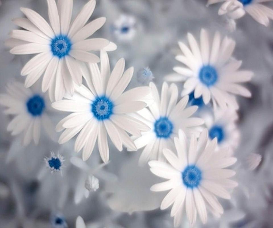 Dark Blue And White Flowers: Las Fotos Mas Alucinantes: Margaritas Azules