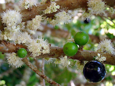 Jaboticaba (Myrciaria Cauliflora) Overview, Health Benefits, Side effects