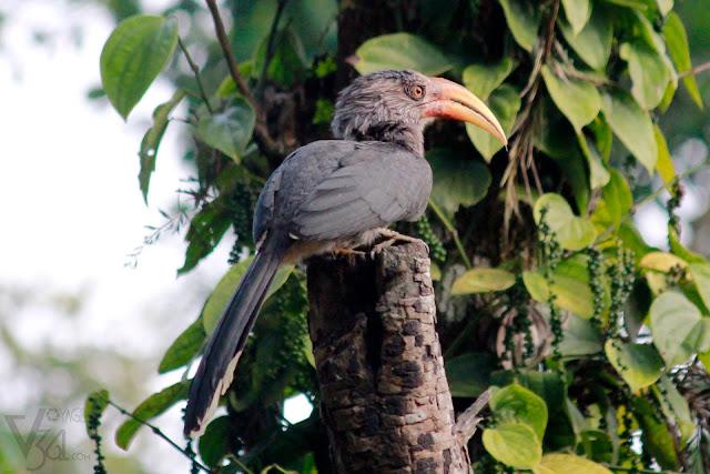 Malabar Grey Hornbill - Coorg