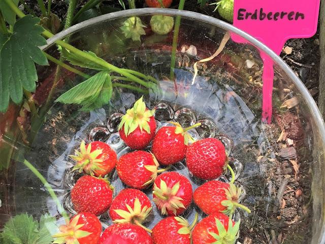 Unsere Erdbeeren auf dem Genussbalkon, Wädenswil 6
