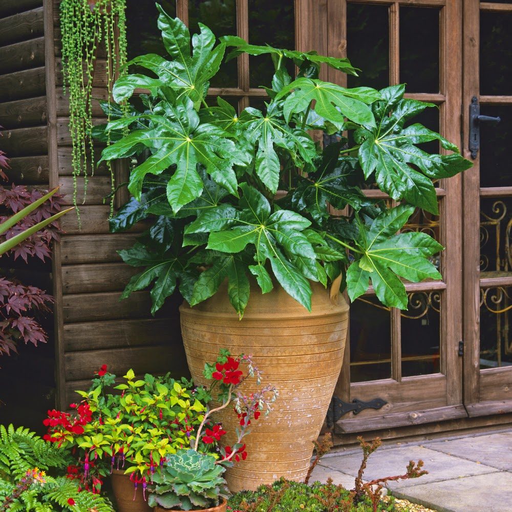 Fatsia japonica in terracotta pot