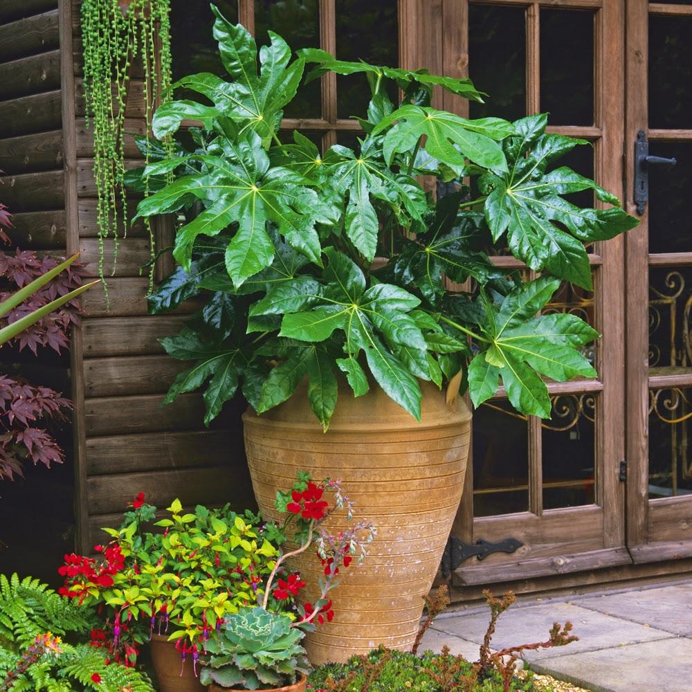 Fatsia japonica in terracotta pot