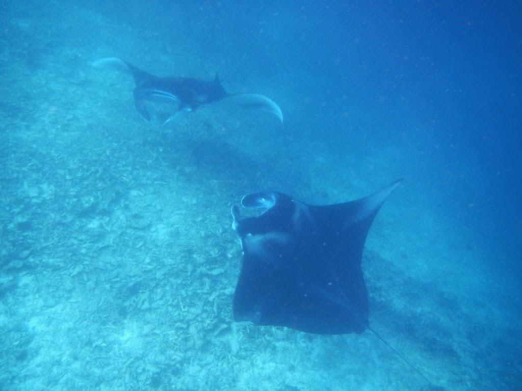 Difference between Manta Ray and Stingray