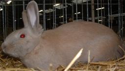 Konijnenrassen Luchs konijn
