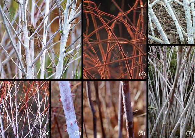 rubus, zmeur, ramuri colorate, decor iarna, poze, imagini, plante decor iarna, gradina, horticultura, plante ornamentale, peisagistica