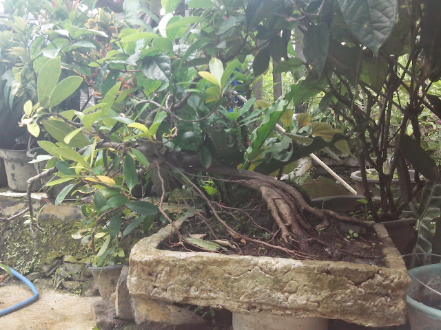 cara merawat bonsai pohon beringin