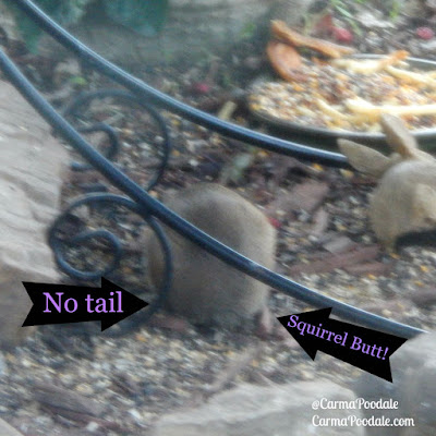 Tail less squirrel