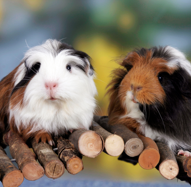 Having Only One Guinea Pig In Switzerland Is Illegal Because They Get Lonely
