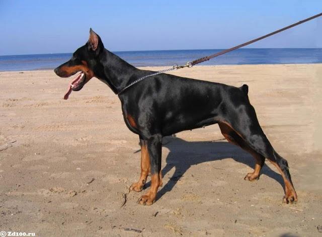 guard dog breed